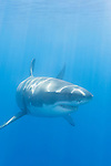 Guadalupe Island, Baja California, Mexico; a large, adult male Great White Shark (Carcharodon carcharias) swimming just below the surface