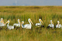 Flock of American White Pelicans (Pelecanus erythrorhynchos) in winter plumage sitting in a marsh. Malheur County, Oregon. September.