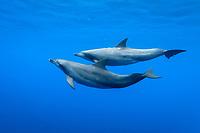 Indo-Pacific bottlenose dolphin, Tursiops aduncus, Chichi-jima, Bonin Islands, Ogasawara Islands, Japan, Pacific Ocean
