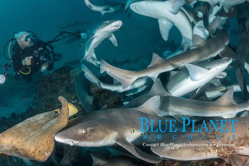 banded houndshark, Triakis scyllium, shark feed in Tateyama, Chiba, Japan, Pacific Ocean