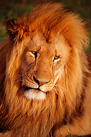 lion portrait, Panthera leo, South Africa, Kruger National Park, Southern Africa