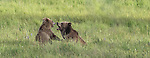 Grizzly bear sow and cub play fighting in Yellowstone National Park