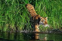 Bengal Tiger (Panthera tigris) entering pond.