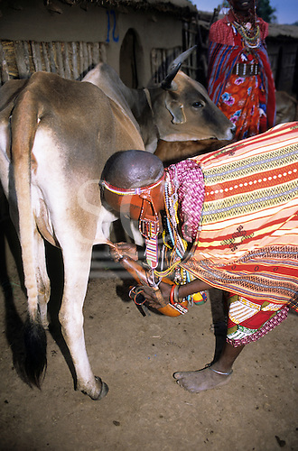 Lolgorian, Kenya. Siria Maasai milking a cow into a collecting gourds with leather straps decorated with beads and shells.