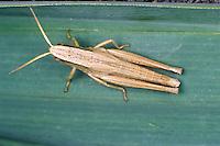 Große Goldschrecke, Weibchen, Chrysochraon dispar, large gold grasshopper, female