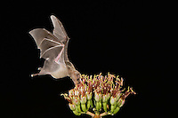 Lesser Long-nosed Bat, Leptonycteris curasoae, adult in flight at night feeding on Agave blossom (Agave spp.),Tucson, Arizona, USA, September 2006