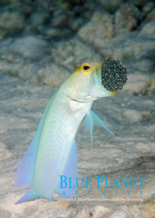 yellowhead jawfish, Opistognathus aurifrons, aerating eggs, mouthbrooding, Bonaire, ABC Islands, Netherlands Antilles, Caribbean Sea, Atlantic Ocean
