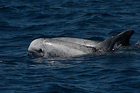 Pair of Risso's Dolphin at the surface showing typical scarring
