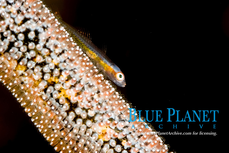 loki whip goby, bryaninops loki, on a whip covered with damsel fish eggs