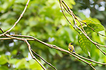 Tetepare Island, Solomon Islands; a male olive-backed sunbird perched on a small tree branch
