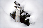 An ermine stands upright in the snow in Grand Teton National Park, Wyoming