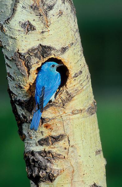 Mountain Bluebird (Silia currucoides) at nest entrance on cottonwood tree. Kootenay National Park, British Columbia. Canada.
