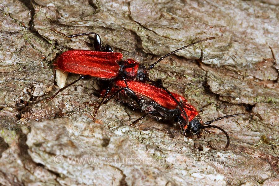 Rothaarbock, Roter Scheibenbock, Pyrrhidium sanguineum, Welsh oak longhorn beetle, Callidie sanguine, Callidie rouge-sang