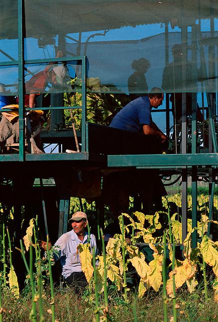 Harvesting Tobacco, (top l to r) Adrian Vecchio-Ruggeri, Vince Vecchio-Ruggeri, Melissa Taylor and Frank Vecchio-Ruggeri, and Peter Salerno (bottom), Vecchio-Ruggeri's Farm, Mareeba, 2003.