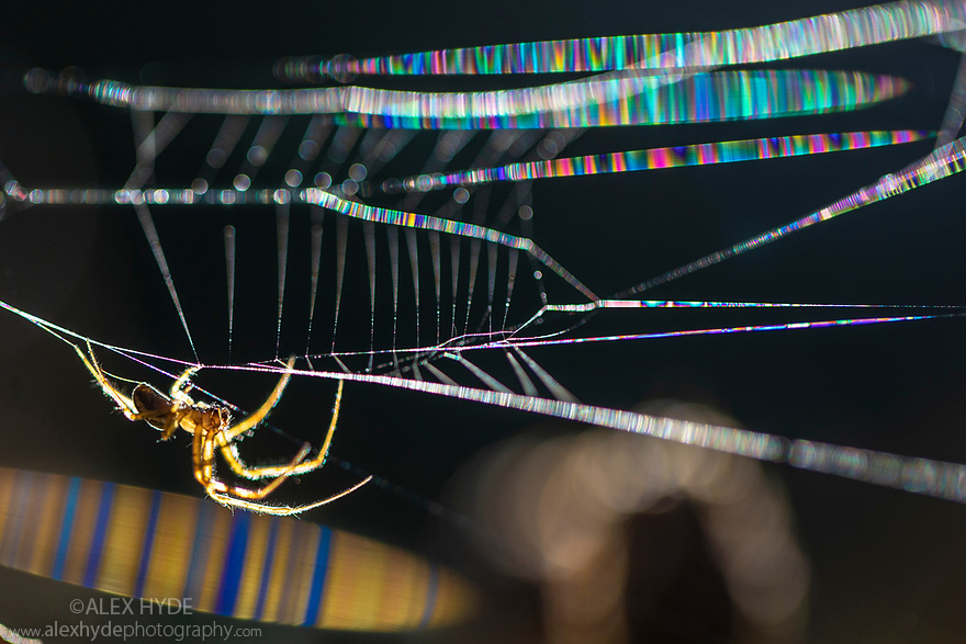 Common Orb Weaver (Metellina sp.) male. With the camera at a very precise angle to the sun, the silk of the web refracted the light into a rainbow of coloured bands.
