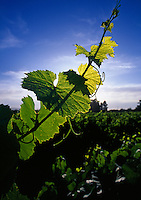 Gape vine in vineyard.