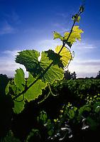 Gape vine in vineyard.