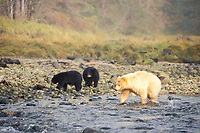 spirit bear, kermode, black bear, Ursus americanus, mother fishing with cub(s) along a river in the rainforest of the central British Columbia coast, Canada