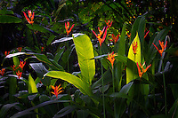 Heliconia flowers. Hawaii Tropical Botanical Gardens. Hawaii, The Big Island.