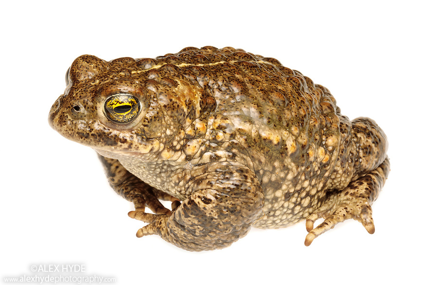 Natterjack Toad (Epidalea calamita), Sefton Coast,  Merseyside, UK. April. Photographed under licence against a white background in mobile field studio. Photographer: Alex Hyde