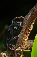 Goeldi's Marmoset or Goeldi's Monkey (Callimico goeldii), range: South America.