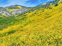 Field of Hillside Daisies (Monolopia lanceolata) and wildflower covered hills. Carrizo Plain National Monument, California