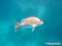 0115-1201  Dog Snapper (Dogtooth Snapper) in Caribbean Reef, Gamefish, Lutjanus jocu  © David Kuhn/Dwight Kuhn Photography