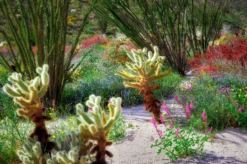 Cholla catus, red Chuparosa, and Ocotillo. Anza Borrego Desert State Park, California