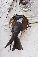 Tree Swallow,Tachycineta bicolor,adult female at nesting cavity in aspen tree, Rocky Mountain National Park, Colorado, USA, June 2007