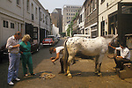 Mobile farrier, replacing horse shoe. Stables in mews, just north of Hyde Park London 1980s.