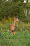 White-tailed doe