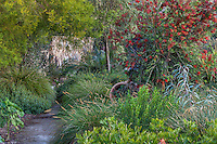Path through summer-dry drought tolerant garden with Callistemon 'Slim', red flowering shrub; Australian Native Plant Nursery, Ventura, California