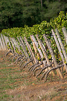 Vineyard with wooden stakes. Semillon. Despagne Vineyards and Chateaux, Bordeaux, France