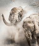 African bush elephants (Loxodonta africana) take dust baths, Etosha National Park, Namibia<br /> <br /> Canon EOS 5D Mark IV, EF200-400mm f/4L IS USM lens, f/18 for 1/1600 second, ISO 4000