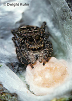SI12-001b  Jumping Spider - protecting egg case - Sitticus palustris