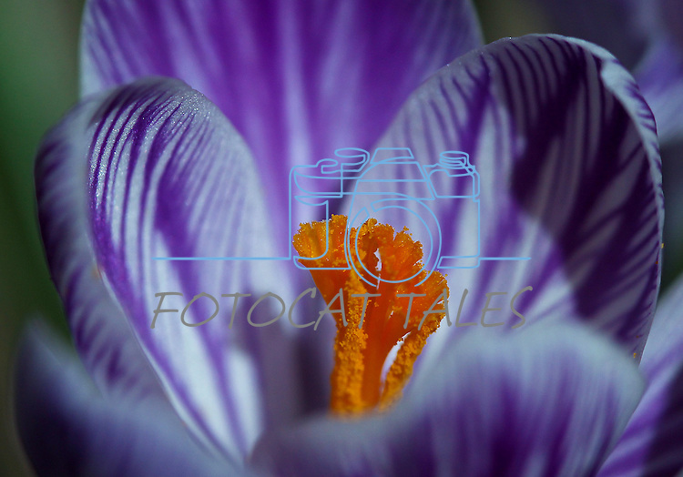 Spring crocus bloom in Gardnerville, Nev., on Sunday, March 17, 2013..Photo by Cathleen Allison