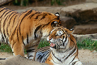 Two captive siberian tigers appear to be conversing in their enclosure at the zoo
