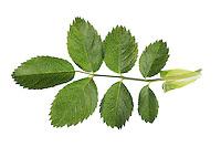 Hunds-Rose, Hundsrose, Heckenrose, Wildrose, Rose, Rosa canina, Common Briar, Dog Rose, Eglantier commun, Rosier des chiens. Blatt, Blätter, leaf, leaves