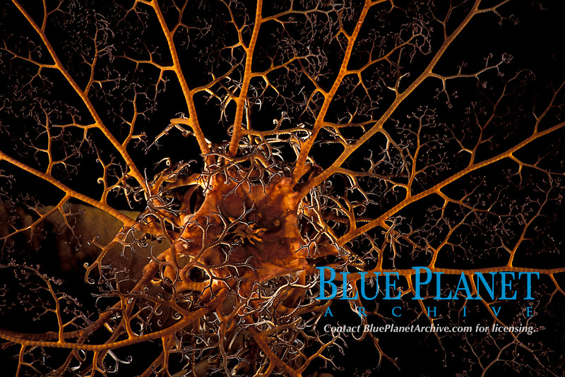 giant basket star, Astrophyton muricatum (an echinoderm) expanded at night, Commonwealth of Dominica (Eastern Caribbean Sea), Atlantic