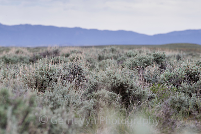 Female Greater Sage-Grouse (Centrocercus urophasianus) hidden in sage landscape. Sublette County, Wyoming. June.