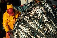 Europe/Norvège/Iles Lofoten : Pêche au skrei-cabillaud - sur le Stottvaring