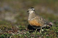 Eurasian Dotterel, Charadrius morinellus,male, Gednjehogda, Norway, Europe