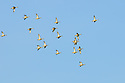 00315-06208  Blue-winged Teal flock of juvenile birds in flight duirng early fall.  Fly, action.