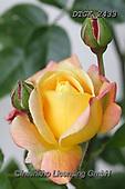 Gisela, FLOWERS, BLUMEN, FLORES, photos+++++,DTGK2433,#f#, EVERYDAY ,roses