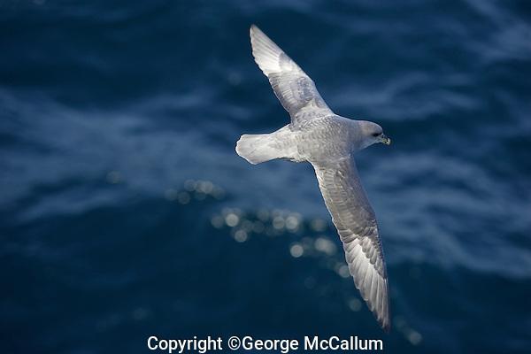Lone Northern Fulmar Fulmarus glacialis gliding over sea Spitzbergen Arctic Norway