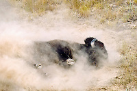 American bison (Bison bison) bull wallowing during summer mating season.