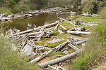 Kaloloch, Washington; a creek littered with large driftwood trees, empties into the Pacific Ocean