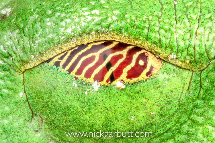 Closed eye of red-eyed leaf frog or red-eyed tree frog (Agalychnis callidryas) (Family: Hylidae), showing lower transparent eyelid withgold reticulum. Osa Peninsula, Costa Rica.