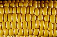 CR02-009x  Corn - kernels on cob