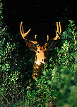 Whitetail buck in velvet standing in the shadows before sunset